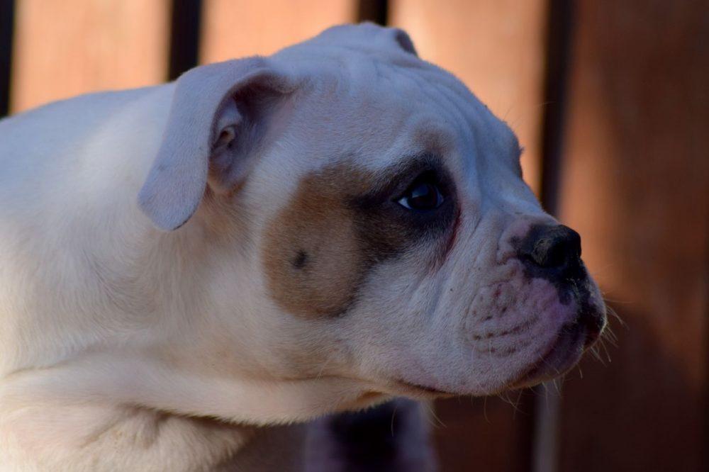 Johnson American Bulldog