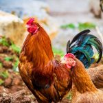 Roosters running afowl of the law are ruffling many feathers