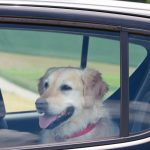 source: Getty Images - dog in hot car